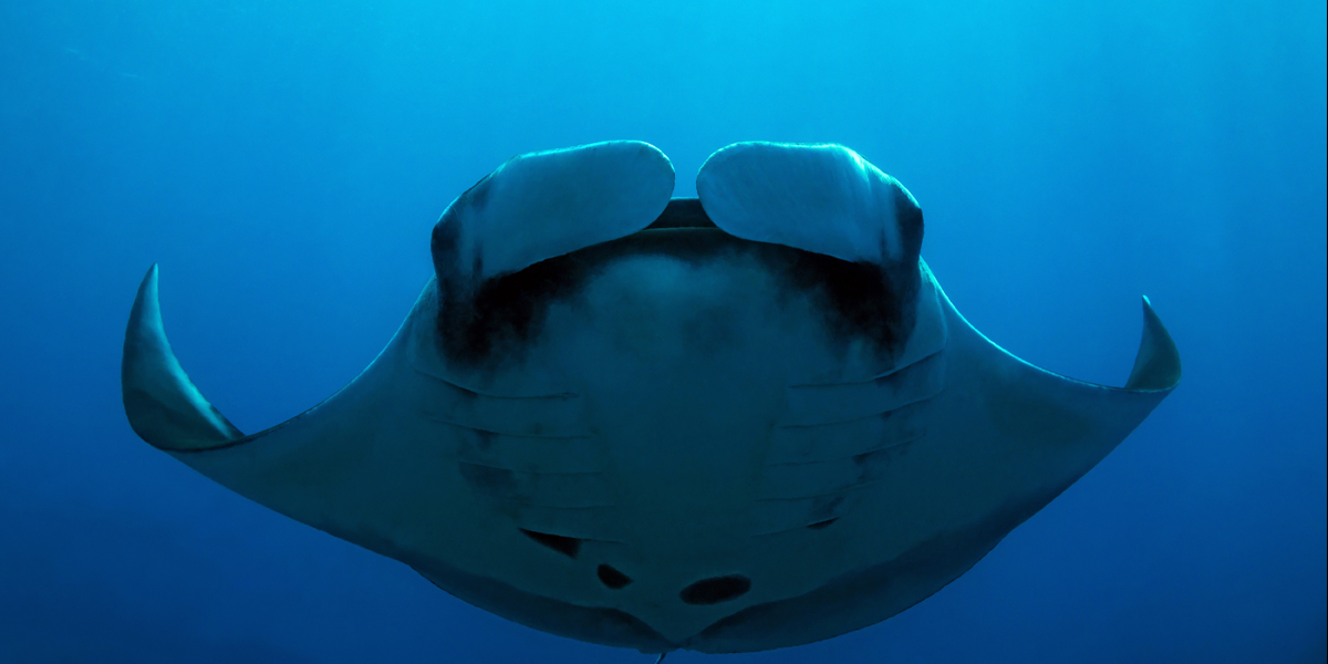 Giant Manta Ray - Caño Island, Costa Rica