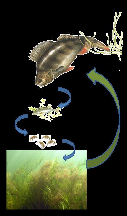 Stora rovfiskar minskar overgodning