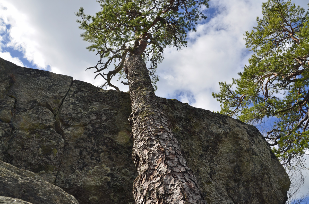 Swedish oldest pine at Hornslandet try to reach the sky