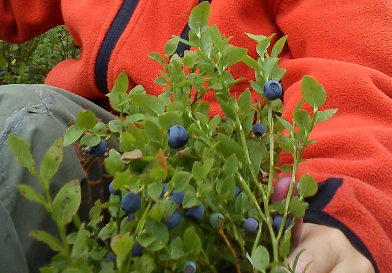 A child picking blueberrys direct from it´s plant