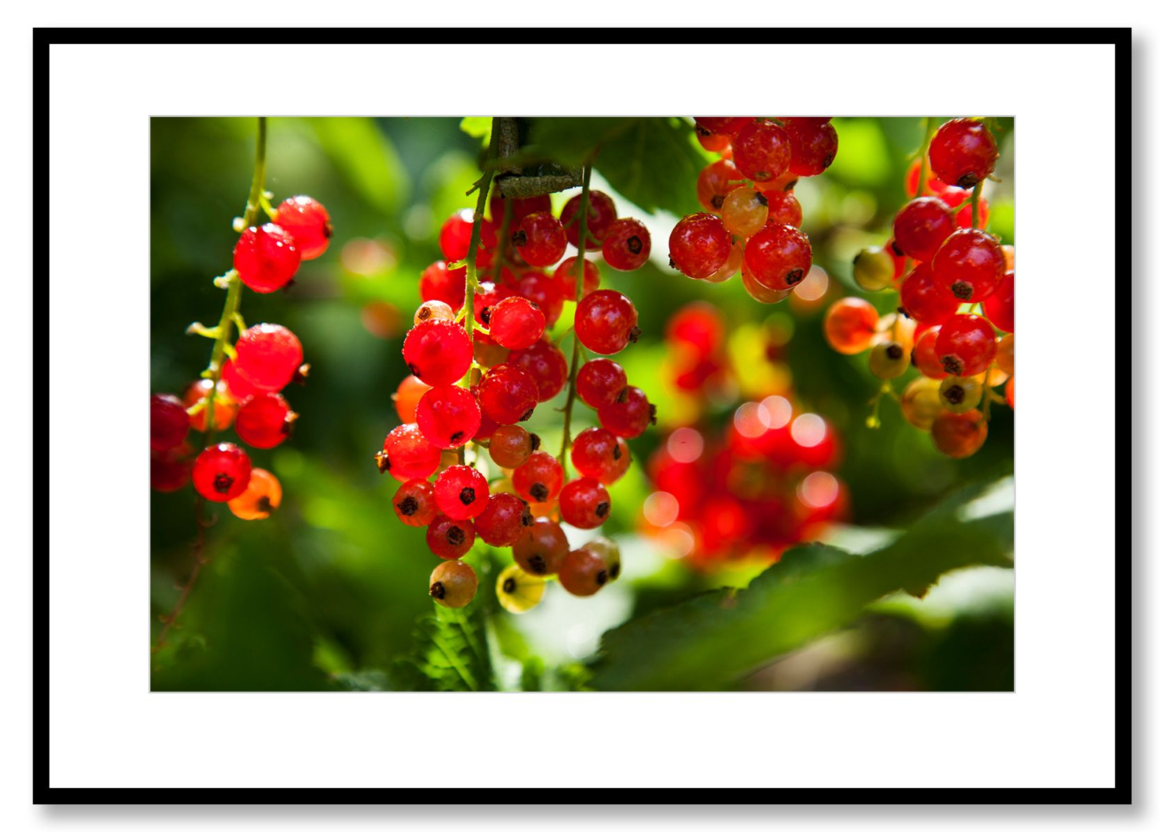 Red  currants. Food Art. Prints for sale. Photo by Fredrik Rege